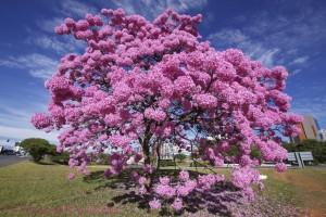 beta lapachone pau d'arco tree